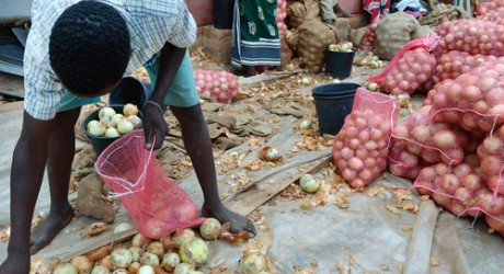 Zambian farmer, collecting onions
